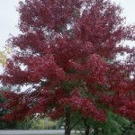 Cashman Nursery, Bismarck, ND, Acer Rubrum, Northfire Maple
