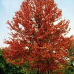 Cashman Nursery, Bismarck, ND, Autumn Blaze Maple, Acer Freemanii
