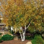 Cashman Nursery, Bismarck, ND, Betula Populifolia, Whitespire Birch