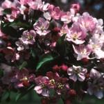 Cashman Nursery, Bismarck, ND, Malus, Red Splendor Flowering Crabapple