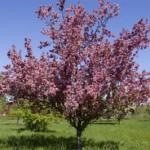 Cashman Nursery, Bismarck, ND, Thunderchild Flowering Crabapple, Malus