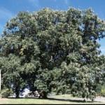 Cashman Nursery, Bismarck, ND, Quercus Macrocarpa, Bur Oak