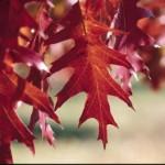 Cashman Nursery, Bismarck, ND, Quercus ellipsoidalis, Northern Red Pin Oak