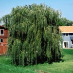 Cashman Nursery, Bismarck, ND, Salix Alba, Niobe Weeping Willow, Prairie Cascade Weeping Willow