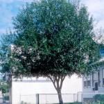 Cashman Nursery, Bismarck, ND, Salix, Laurel Leaf Upright Willow