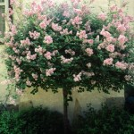 Cashman Nursery, Bismarck, ND, Syringa, Dwarf Korean Lilace Tree, Flowering Ornamental Tree