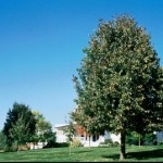 Cashman Nursery, Bismarck, ND, Tilia Americana, Frontyard American Linden