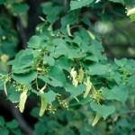 Cashman Nursery, Bismarck, ND, Tilia Cordata, Little Leaf Linden