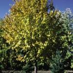 Cashman Nursery, Bismarck, ND, Tilia Cordata, Harvest Gold Linden