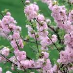 Cashman Nursery, Bismarck, ND, Prunus, Double Flowering Plum, Ornamental Flowering Tree