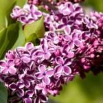 Cashman Nursery, Bismarck, ND, Syringa vulgaris, Sensation Lilac