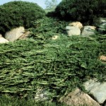Cashman Nursery, Bismarck, ND, Juniperus Prince of Whales Spreading Juniper, Evergreen