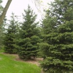 Cashman Nursery, Bismarck, ND, Picea Black Hills Spruce, Evergreen