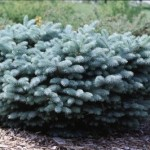 Cashman Nursery, Bismarck, ND, Picea Globe Blue Spruce, Evergreen