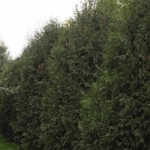 Cashman Nursery, Bismarck, ND, Thuja Techny Arborvitae, Evergreen