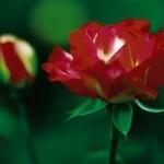 Cashman Nursery, Bismarck, ND, Double Delight Tender Rose Bush