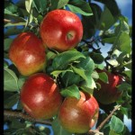Cashman Nursery, Bismarck, ND, Honeycrisp Apple Fruit Tree