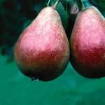 Cashman Nursery, Bismarck, ND, Patten Pear Fruit Tree