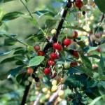 Cashman Nursery, Bismarck, ND, North Star Cherry Fruit Tree