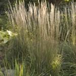 Cashman Nursery, Karl Forester Perennial Grass, North Dakota