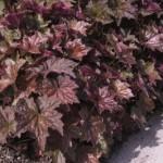 Cashman Nursery, Heuchera Palace Purple Coral Bells, Perennial for North Dakota