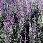Cashman Nursery, Perovskia Russian Sage, Fall Flowering Perennial, North Dakota