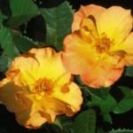 Cashman Nursery, Bismarck, ND, Morden Sunrise Hardy Shrub Rose Bush