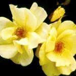 Cashman Nursery, Bismarck, ND, Carefree Sunshine Hardy Shrub Rose