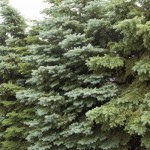 Cashman Nursery, Bismarck, ND, Picea Colorado Spruce, Evergreen