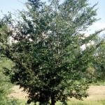 Cashman Nursery, Bismarck, ND, Dutch Elm Disease Resistant, Ulmus, Princeton Elm