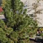 Cashman Nursery, Bismarck, ND, Pinus Mugo, Tannenbaum Pine, Evergreen
