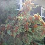Cedar-Apple Rust