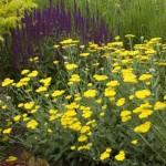 Cashman Nursery, Achillea Yarrow, May Night Purple Salvia, and Tiger Eyes Sumac, Perennials, North Dakota