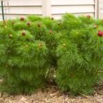 Cashman Nursery, Fern Leaf Peony, Perennial for North Dakota