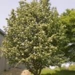 Cashman Nursery, Bismarck, ND, Sorbus, Oakleaf Mountain Ash, Ornamental Flowering Tree