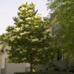 Cashman Nursery, Bismarck, ND, Syringa, Ivory Silk Japanese Tree Lilac
