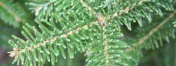 canaan_fir_tree_detail