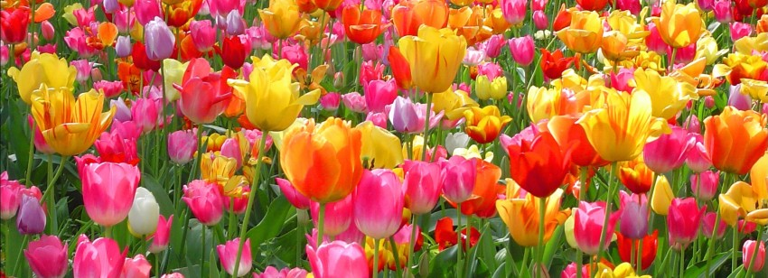 Colorful-Tulip-Flower-in-Garden-HD-Wallpaper